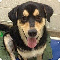 Adopt A Pet :: Major - Asheville, NC
