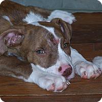 Pit Bull Terrier Mix Puppy for adoption in Durham, North Carolina - Flynn
