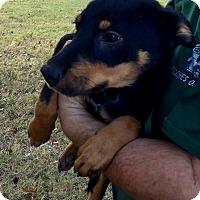 Adopt A Pet :: Sammy Davis Jr - Harmony, Glocester, RI