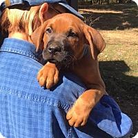 Adopt A Pet :: Frazier - gorgeous boxer boy - Chicago, IL