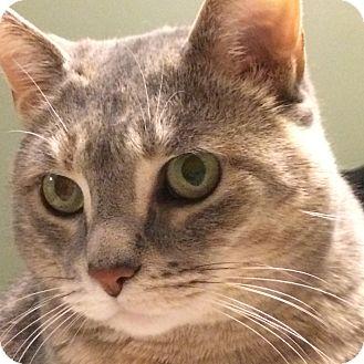 Domestic Shorthair Cat for adoption in Toronto, Ontario - Arwin