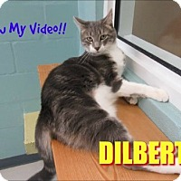 Domestic Shorthair Cat for adoption in Sarasota, Florida - Dilbert