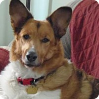 Collie/Corgi Mix Dog for adoption in S. Pasadena, California - Sarah