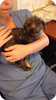 Poodle (Miniature) Mix Dog for adoption in Newport, Kentucky - Graham