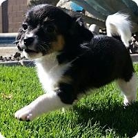 Adopt A Pet :: Ayra (in foster) - Scottsdale, AZ