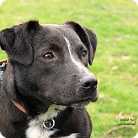 Adopt A Pet :: Violet - Flushing, MI