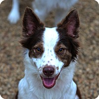 Adopt A Pet :: Cinder - Garland, TX