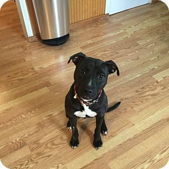 Pit Bull Terrier Mix Dog for adoption in Lake Charles, Louisiana - Solo