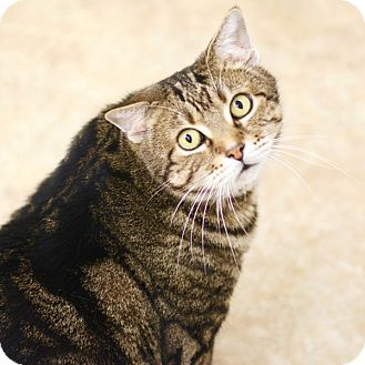Domestic Shorthair Cat for adoption in East Hartford, Connecticut - Truman