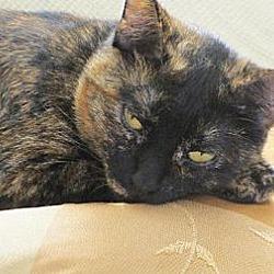 Photo 2 - British Shorthair Cat for adoption in Los Angeles, California - Lorna