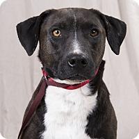 Adopt A Pet :: Wilson Labmix - St. Louis, MO