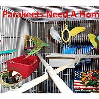 Adopt A Pet :: 5 Parakeets - Vancouver, WA