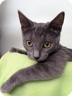 Domestic Shorthair Kitten for adoption in Hermosa Beach, California - Lacy