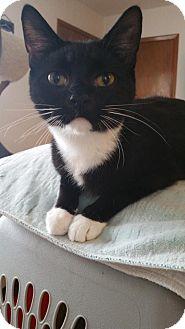 Domestic Shorthair Kitten for adoption in Montello, Wisconsin - Hermione