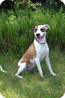 Boxer/Pit Bull Terrier Mix Dog for adoption in Coldwater, Michigan - India - IN TRAINING