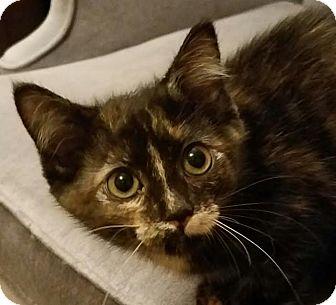 Domestic Mediumhair Kitten for adoption in Colfax, Iowa - Tatum