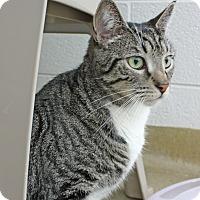 Adopt A Pet :: Leo Gray - Harrisonburg, VA