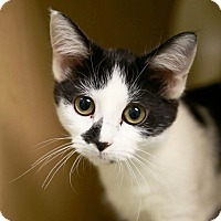 Domestic Shorthair Kitten for adoption in Kettering, Ohio - Orchid