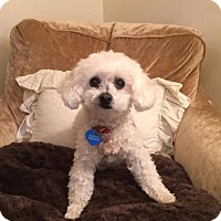 Toy Poodle Dog for adoption in Courtice, Ontario - Chloe