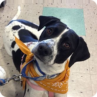 English Pointer Dog for adoption in Schaumburg, Illinois - Rosie