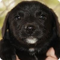 Labrador Retriever Mix Puppy for adoption in Danbury, Connecticut - Peterpan