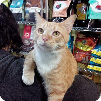 Domestic Shorthair Kitten for adoption in Raleigh, North Carolina - KARL