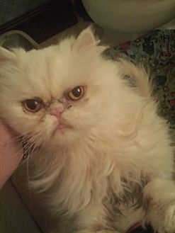 Persian Cat for adoption in Columbus, Ohio - Angel