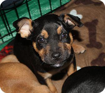 Labrador Retriever/Shepherd (Unknown Type) Mix Puppy for adoption in Marietta, Georgia - Krackle