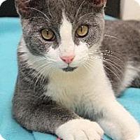 Adopt A Pet :: Chaplin - Chicago, IL