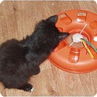 Adopt A Pet :: Kitten - balck - Westfield, MA