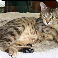 Adopt A Pet :: Nibbs - Easley, SC