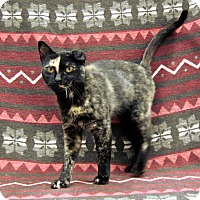 Domestic Shorthair Cat for adoption in Redwood Falls, Minnesota - Sweetie