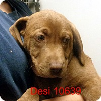 Adopt A Pet :: Desi - baltimore, MD
