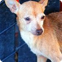 Chihuahua Mix Dog for adoption in Pt. Richmond, California - IZZY CHI