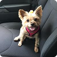 Adopt A Pet :: Goonie Girl - Sinking Spring, PA