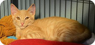 Domestic Shorthair Kitten for adoption in Tomball, Texas - Twister