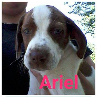 Hound (Unknown Type)/Labrador Retriever Mix Puppy for adoption in fort wayne, Indiana - Ariel
