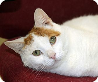 Domestic Shorthair Cat for adoption in Harrison, New York - Oscar