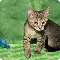 Adopt A Pet :: Gum Drop (Sasha's Kitten) - Marietta, OH