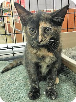 Domestic Shorthair Kitten for adoption in North Wilkesboro, North Carolina - Amy Farrah Fowler