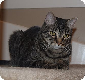 Domestic Shorthair Cat for adoption in Houston, Texas - Leon (declawed)