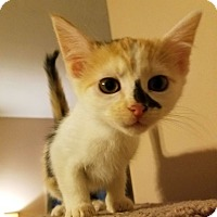 Domestic Longhair Kitten for adoption in Chattanooga, Tennessee - Lisa