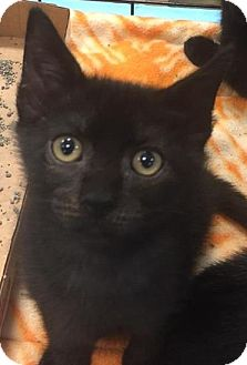 Domestic Shorthair Kitten for adoption in Gainesville, Florida - Dugan