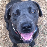 Labrador Retriever Mix Dog for adoption in Austin, Texas - Coleman