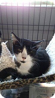 Domestic Shorthair Cat for adoption in Yuba City, California - Tuxie
