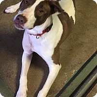 Pointer Mix Dog for adoption in Los Angeles, California - Joy