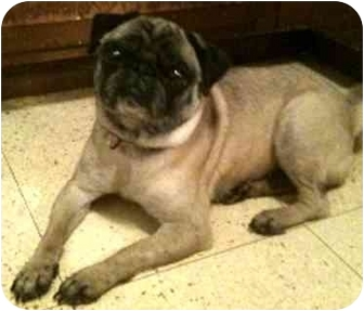 Pug Dog for adoption in Edmeston, New York - Rosie-NY