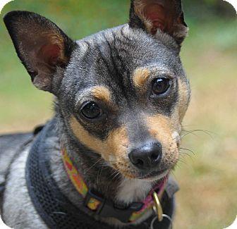 Shiba Inu/Chihuahua Mix Dog for adoption in San Francisco, California - Addie