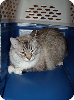 Manx Cat for adoption in Scottsdale, Arizona - Bunny (courtesy post)