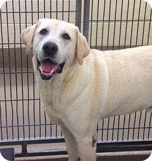 Labrador Retriever Dog for adoption in Manchester, New Hampshire - Blaze